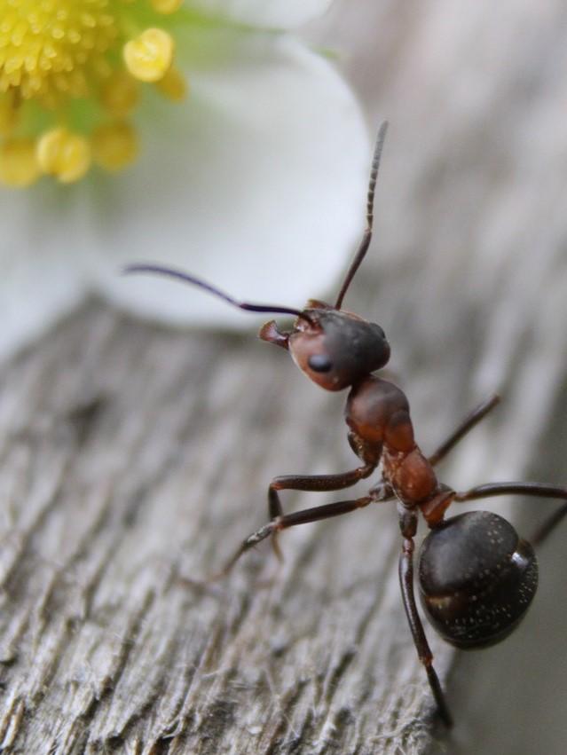 Ant Pest Control in Gravesend, Northfleet, Meopham, Higham, Cobham