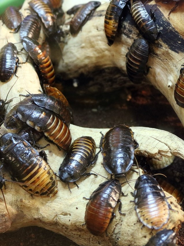 cockroach pest control in Gravesend, Northfleet, Meopham, Higham, Cobham