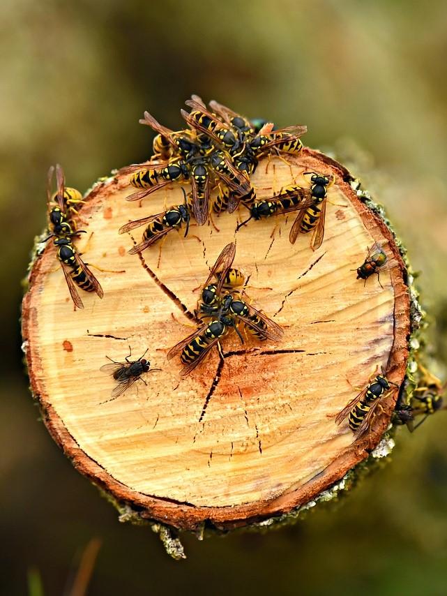 Wasp nest removal in Gravesend, Northfleet, Meopham, Higham, Cobham